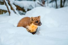 Enige wezelzitting bij sneeuwgebied Royalty-vrije Stock Afbeeldingen