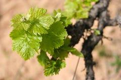 Enige wijnstoktak stock afbeeldingen