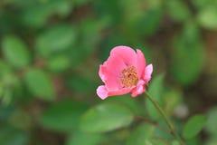 Enige windende bloem Stock Afbeelding
