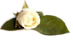 Enige wit nam met bladeren en stam toe Royalty-vrije Stock Foto