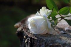Enige wit nam toe royalty-vrije stock fotografie