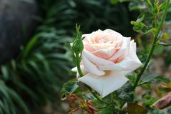 Enige Wit nam in Tuin toe Stock Afbeeldingen