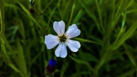 Enige witte bloem Stock Afbeelding