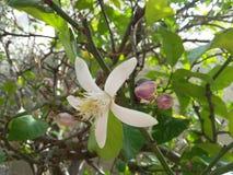 Enige Witte citroenbloem op groene boom bij lentetijd stock afbeeldingen
