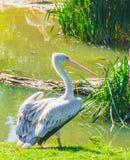 Enige witte dichte omhooggaand van de pelikaanvogel in een scène van het waterlandschap royalty-vrije stock afbeelding