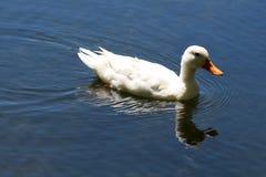 Enige witte eend met bezinning over water Stock Afbeeldingen
