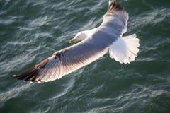 Enige zeemeeuw die over zeewaters vliegen Stock Foto's