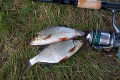 Enige zoetwater witte brasem of zilveren brasem, voornvissen op gre royalty-vrije stock afbeeldingen