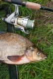 Enige zoetwatervissen gemeenschappelijke brasem en hengel met spoel op natuurlijke achtergrond stock afbeelding