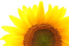 Enige zonnebloem die op wit wordt geïsoleerdd Royalty-vrije Stock Foto
