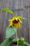 Enige zonnebloem met verminderd bloemhoofd op houten omheining backgr stock afbeelding