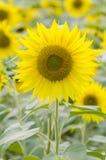 Enige zonnebloem op zonnebloemengebied Stock Foto