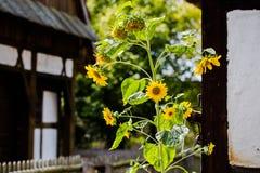 Enige zonnebloem in oud die landbouwbedrijf met huizen met Pruisisch w worden behandeld stock fotografie