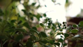 Enigmatic small and thin green flowers growing indoors. Exciting closeup of little and elegant green flowers growing in an apartment and looking refine and stock footage