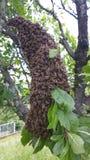 Enjambre de abejas Imagen de archivo