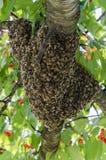 Enjambre de abejas Fotografía de archivo libre de regalías
