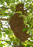 Enjambre de abejas detalladamente Imagen de archivo libre de regalías