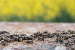 Enjambre de abejas en colmena Colmenas de la abeja en un campo fotografía de archivo libre de regalías