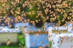 Enjambre de abejas en colmenar Foto de archivo libre de regalías