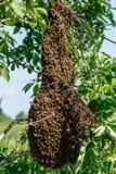 Enjambre de abejas en el árbol Imagen de archivo