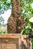 Enjambre de abejas en el árbol Foto de archivo libre de regalías