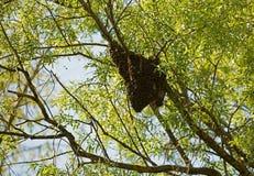 Enjambre de abejas en un árbol Fotos de archivo libres de regalías