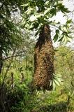 Enjambre de abejas en una rama de árbol Fotos de archivo libres de regalías