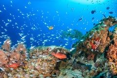 Enjambre de Glassfish alrededor de un pináculo coralino Imagen de archivo libre de regalías