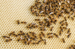 Enjambre de la abeja Fotografía de archivo