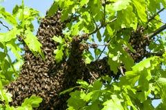 Enjambre de la abeja Imagenes de archivo