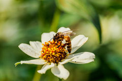 Enjambre de la abeja de la flor del primer en el jardín Fotografía de archivo libre de regalías