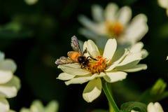 Enjambre de la abeja de la flor del primer en el jardín Foto de archivo
