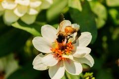 Enjambre de la abeja de la flor del primer en la guarida del lepisosteus Imágenes de archivo libres de regalías