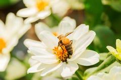 Enjambre de la abeja de la flor del primer en la guarida del lepisosteus Fotos de archivo