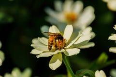 Enjambre de la abeja de la flor del primer en la guarida del lepisosteus Imagen de archivo libre de regalías