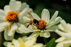 Enjambre de la abeja de la flor del primer en la guarida del lepisosteus Fotografía de archivo