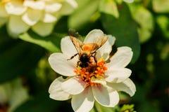 Enjambre de la abeja de la flor del primer en la guarida del lepisosteus Foto de archivo