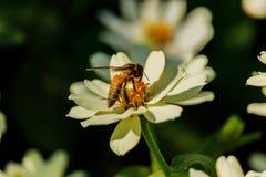 Enjambre de la abeja de la flor del primer en la guarida del lepisosteus Fotografía de archivo libre de regalías