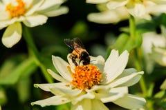 Enjambre de la abeja de la flor del primer en la guarida del lepisosteus Imagenes de archivo