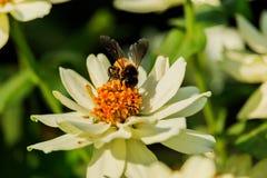 Enjambre de la abeja de la flor del primer en la guarida del lepisosteus Imagen de archivo