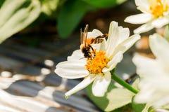 Enjambre de la abeja de la flor del primer en la guarida del lepisosteus Foto de archivo libre de regalías