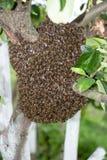 Enjambre de la abeja de la miel Foto de archivo libre de regalías