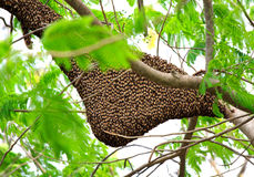 Enjambre de la abeja de la miel Imagen de archivo