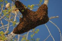 Enjambre de la abeja de la miel imágenes de archivo libres de regalías