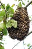 Enjambre de la abeja de la miel en un manzano Fotos de archivo