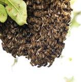 Enjambre de la abeja de la miel en un manzano Imagen de archivo libre de regalías
