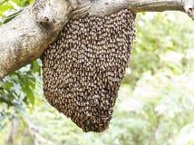 Enjambre de la abeja de la miel que se aferra Fotos de archivo