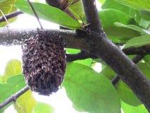 Enjambre de la abeja en el árbol - Baluarte De San Diego Gardens Fotos de archivo libres de regalías