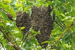 Enjambre de la abeja en rama de árbol Fotos de archivo