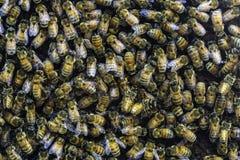 Enjambre de la abeja en una colmena Fotografía de archivo libre de regalías